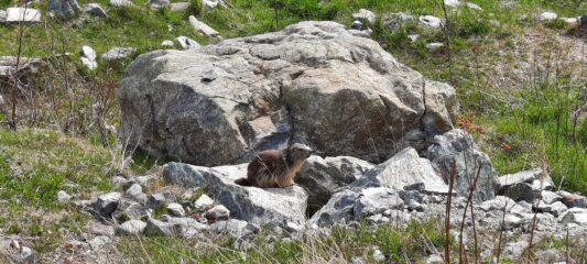 Marmotta vicino al rifugio Città di Ciriè