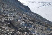 Quella che sembra l'alternativa al sentiero franato: un'esile traccia che scende al ghiacciaio e porta al punto d'attacco per la salita al Rutor