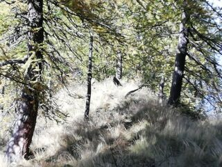 Lupo nel bosco